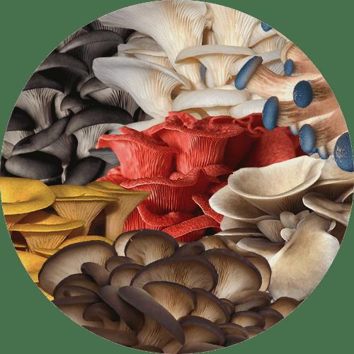 tipos de cogumelos ostra